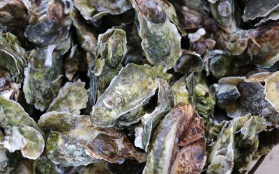 Oyster Growers Gather in Charleston to Share Experience