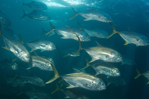 School of crevalle jack fish.