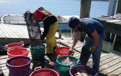 Oyster Mariculture is Growing in South Carolina