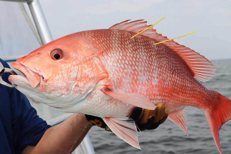 Red snapper fish held in hand.