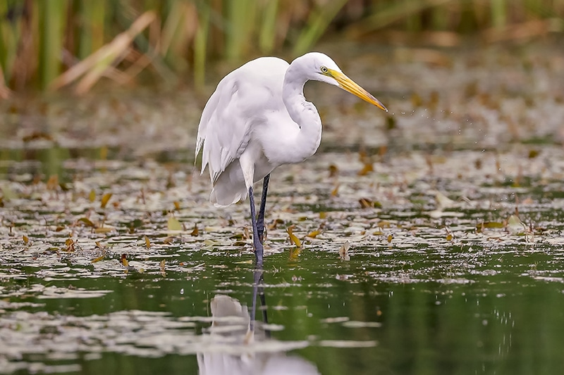 White egret wading and hunting in the salt marsh, South Carolina.