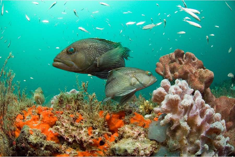 Research Indicates Black Sea Bass Remain Genetically Diverse Despite Historic Periods of Overfishing