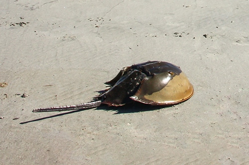 Horseshoe crab on the beach.