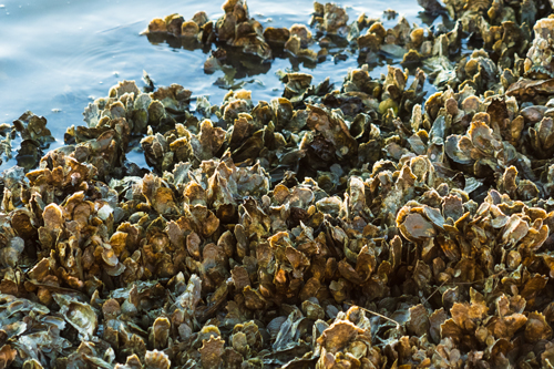 A clump of wild oysters creates a natural shoreline.