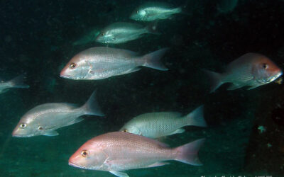 """""""Great Red Snapper Count"""" to Estimate Number of Fish in U.S. South Atlantic Waters"""