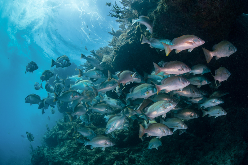 Red snapper fish shoaling.