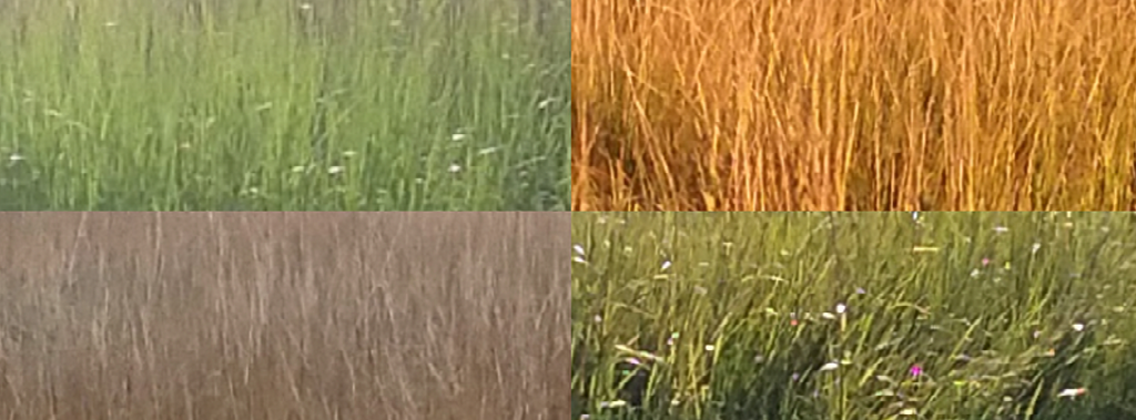 Four seasons of Spartina side by side show differences in color throughout the year.